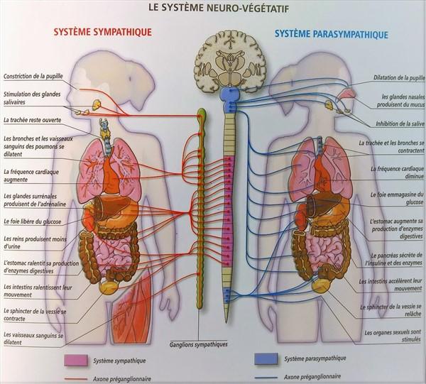 Systeme parasympathique et sympathique